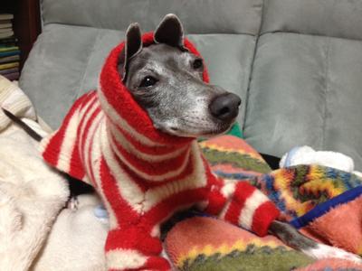 縮んだセーターをイタグレに